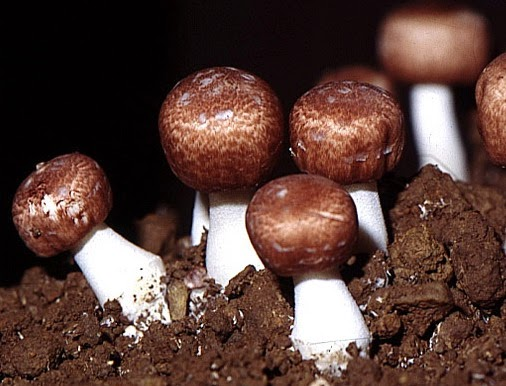 Nấm thái dương Orihiro - nấm Agaricus điều trị ung thư